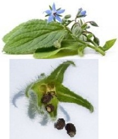 borage flower met seed2