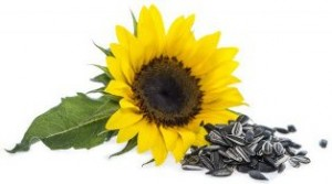 sunflower-with-seeds-480x268