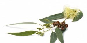 Eucalyptus-cover-660x330