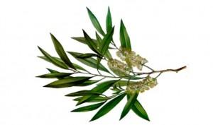 tea-tree